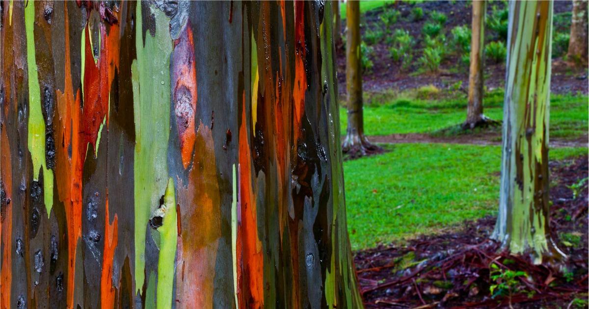 eucalyptus deglupta philippines